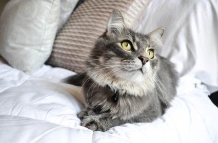 Длинная кошачья шерсть — красота, но также и обязательства